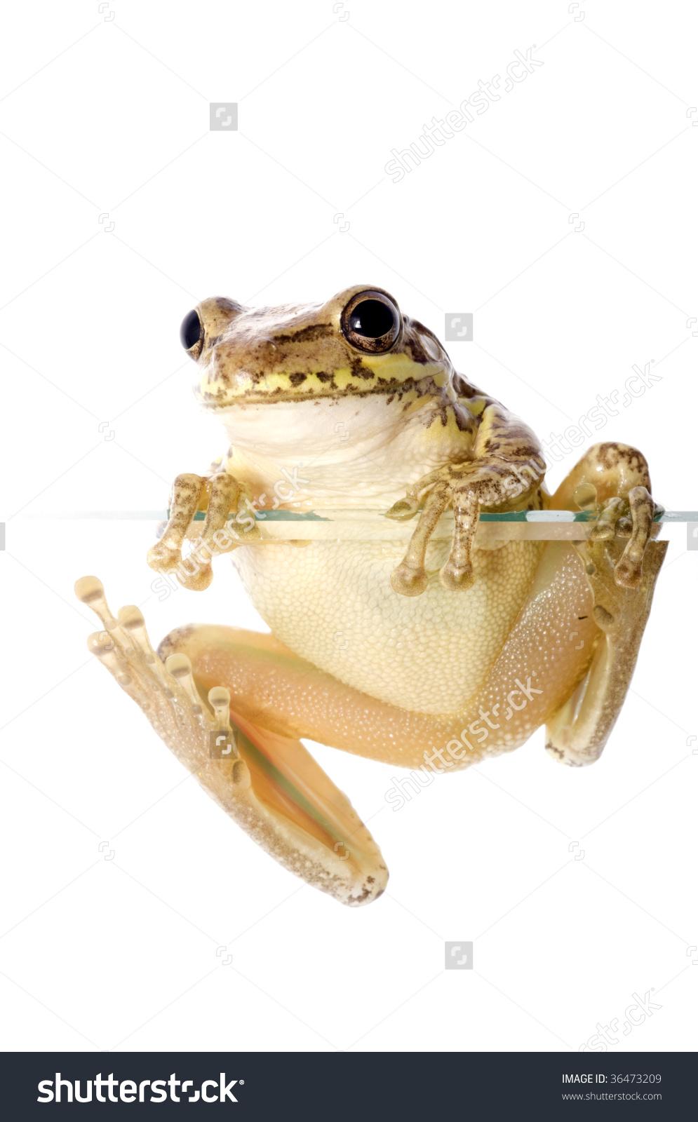 Cuban Tree Frog (Osteopilus Septentrionalis), An Invasive Species.