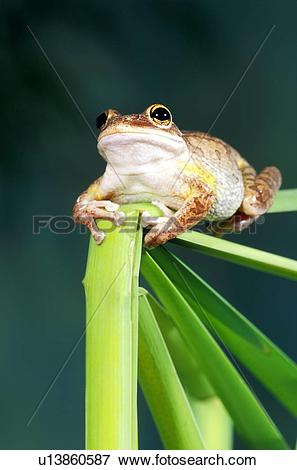 Picture of Cuban tree frog u13860587.