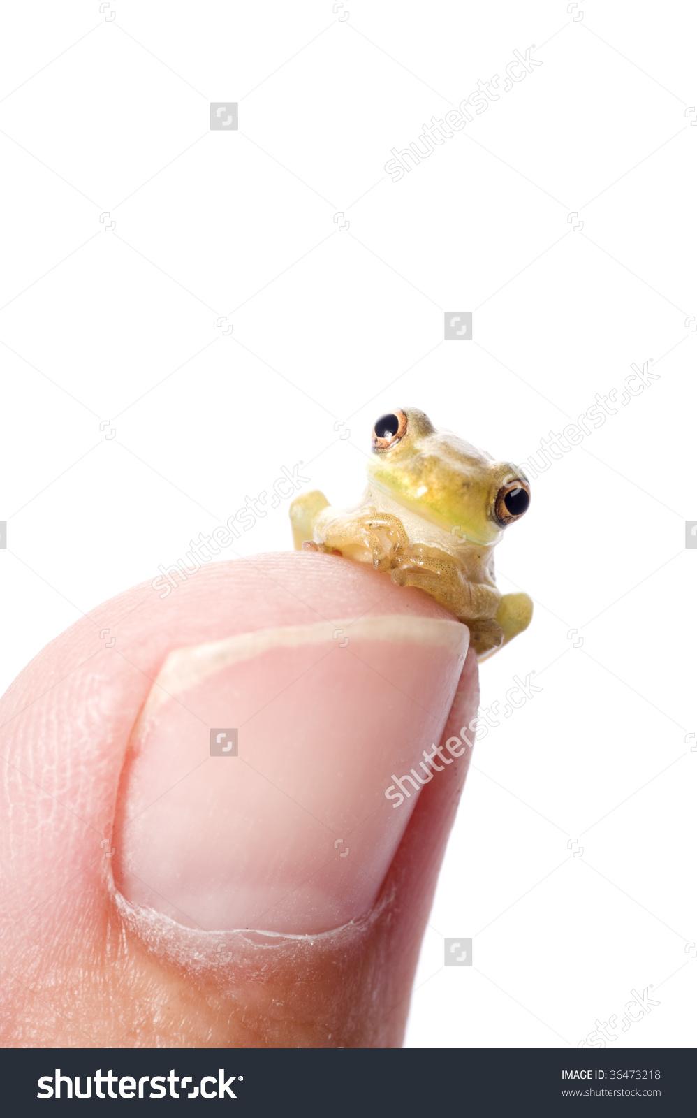 Humorous Pose Baby Cuban Tree Frog Stock Photo 36473218.