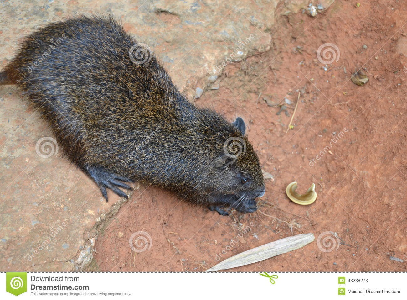 Cuban Tree Rat Stock Photo.