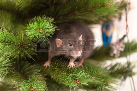 Tree Rat Images & Stock Pictures. Royalty Free Tree Rat Photos And.