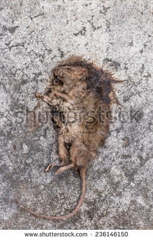 Cuban Tree Rat Hutia Stock Photo 209359066.