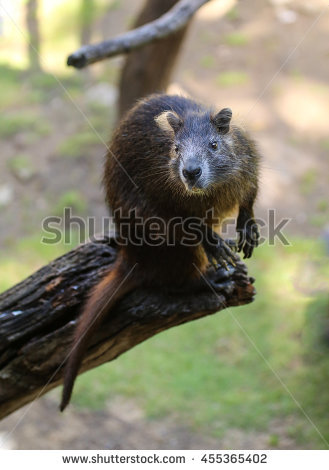 Tree Rat Stock Photos, Royalty.