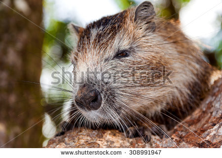 River Rat Stock Photos, Royalty.