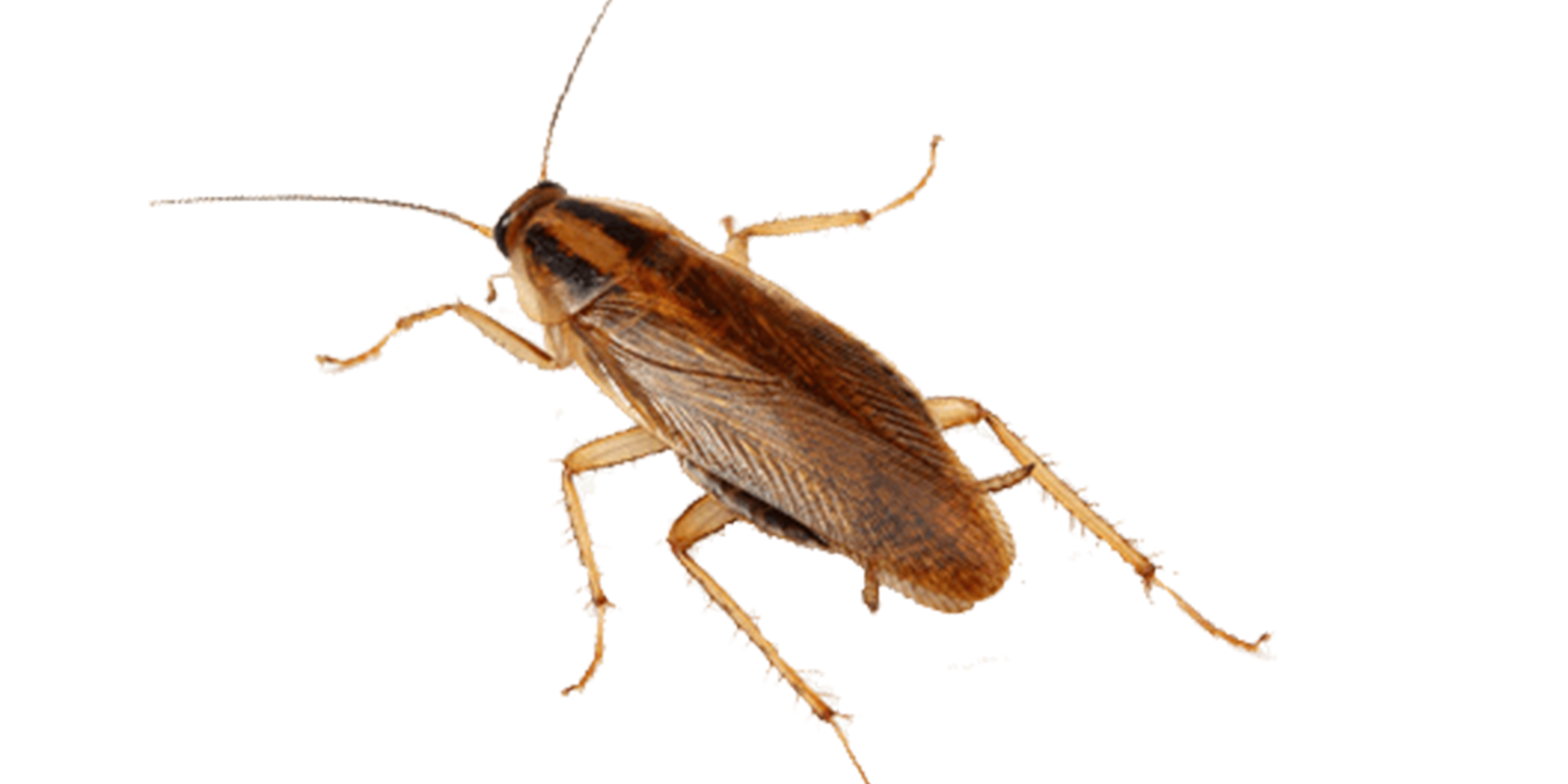 Insect,Invertebrate,Cockroach,Pest,Beetle,Arthropod,Oriental.