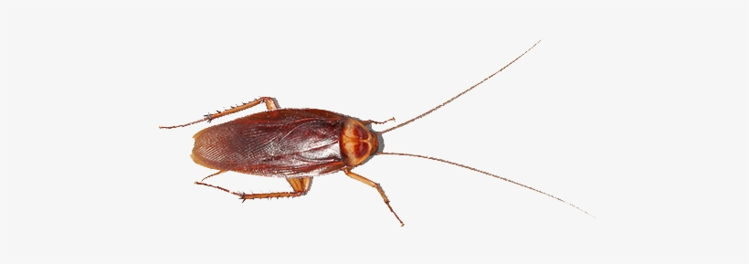Cucaracha Americana Cucaracha.