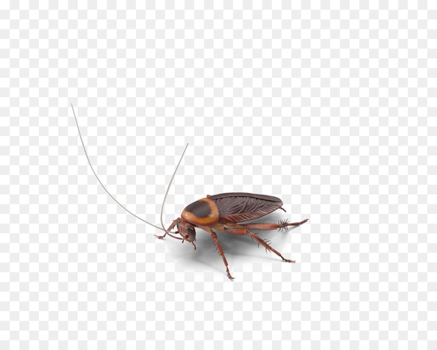 Cucaracha, Los Insectos, Fondo De Escritorio imagen png.