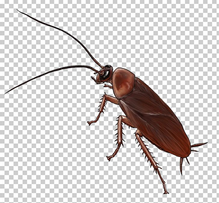 American Cockroach Insect Drawing German Cockroach PNG, Clipart.