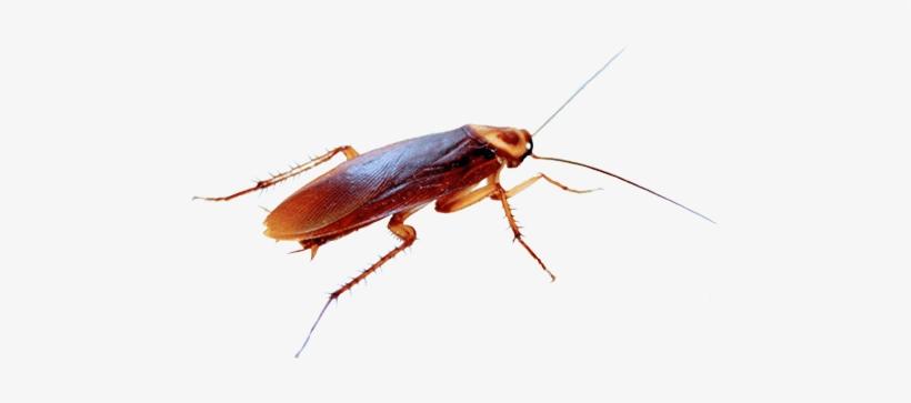 Cucaracha Png.