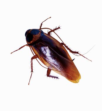 Insect,Invertebrate,Cockroach,Pest,Beetle,Arthropod,Oriental.
