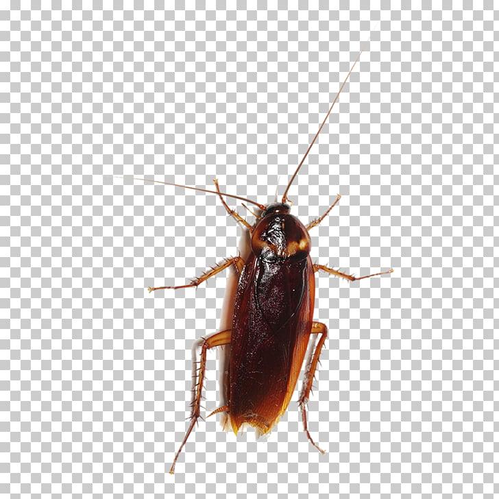 Cucaracha entokim Çevre sağlığı hizmetleri insect plaga blattodea.