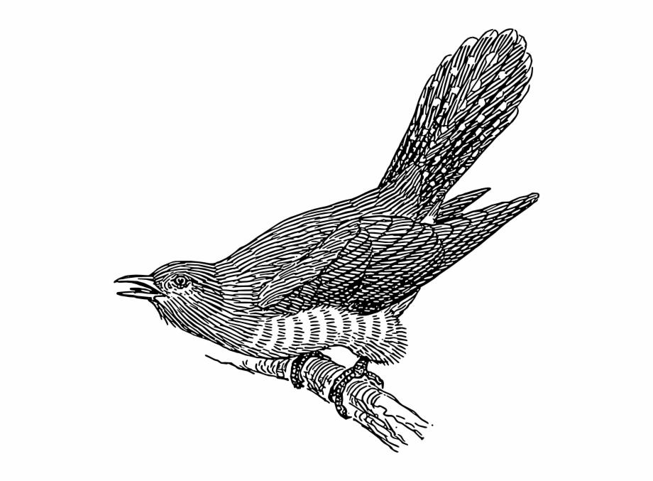 Cuckoo Bird Clipart Cuckoo Bird Clipart.