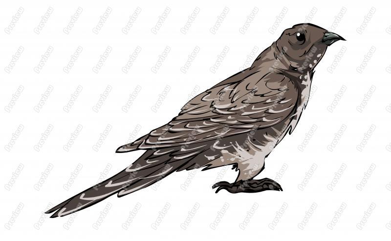Realistic Oriental Cuckoo Bird Character Clip Art.