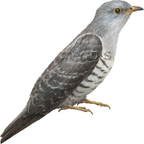 Cuckoo Bird Clipart.
