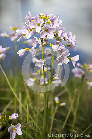 Cuckoo Flower Royalty Free Stock Photo.