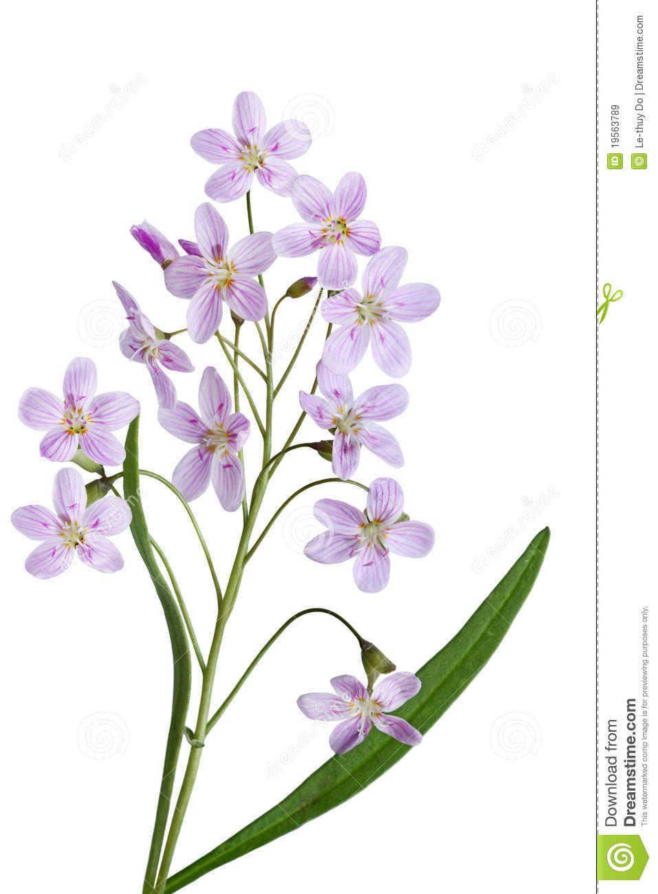 Cuckoo Flower Royalty Free Stock Images.
