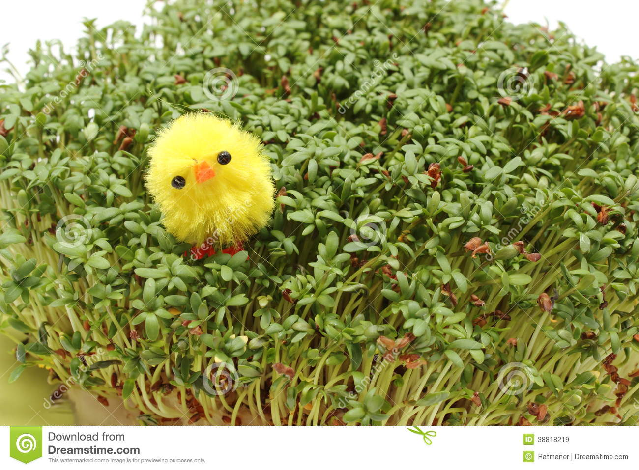Easter Chicken Lying On Green Cuckoo Flower Stock Photo.