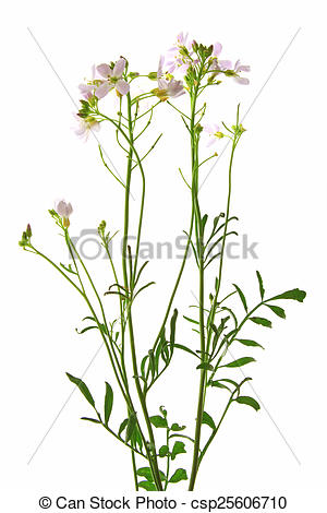 Stock Photography of Cuckoo flower.