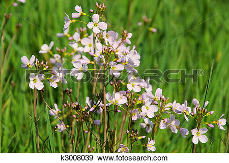 Stock Photograph of Cuckoo Flower 11 k3008039.