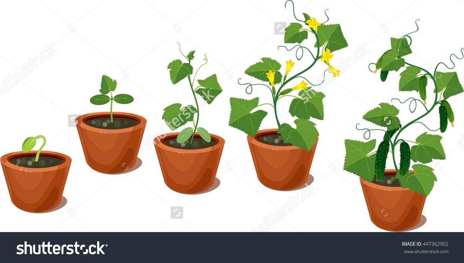Cucumber Plant Growth Cycle Stock Vector 447362902.