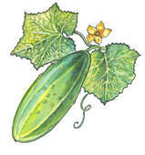Cucumber Clipart and Stock Illustrations. 1,478 cucumber vector.