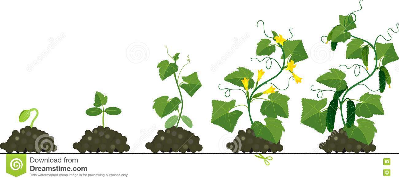 Cucumber Plant Growth Cycle Stock Vector.