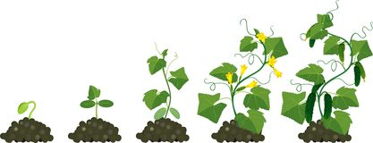Sativus Stock Illustrations.