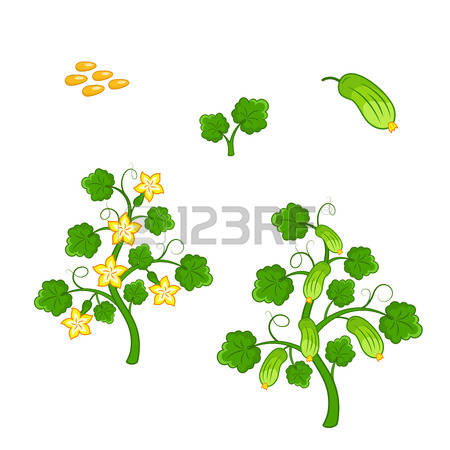 2,995 Cucumber Plant Stock Vector Illustration And Royalty Free.