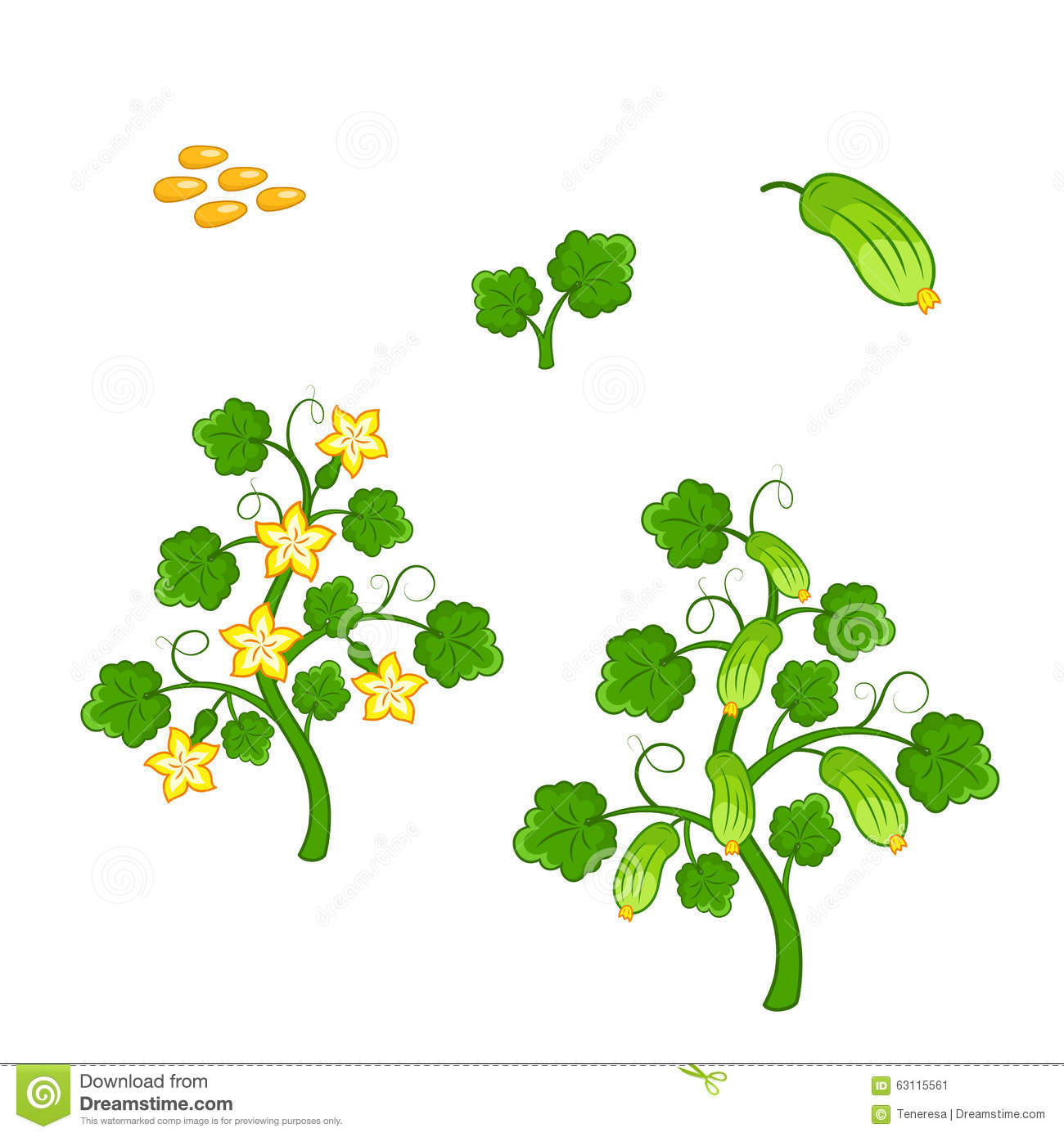 Cucumber Plant With Seeds And Flowers Stock Vector.