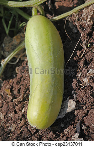 Stock Photography of Cucumber, Cucumis sativus is a widely.