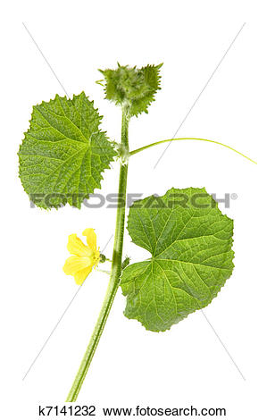 Stock Photo of Green sprout melon (Cucumis melo) k7141232.