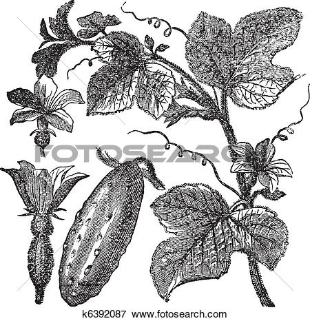 Clip Art of Cucumber or Cucumis sativus vintage engraving k6392087.