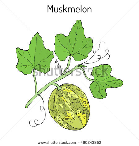 Cucumis Melo Stock Photos, Royalty.