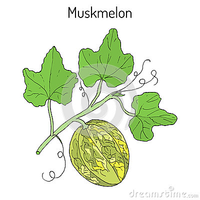Cucumis Stock Illustrations.