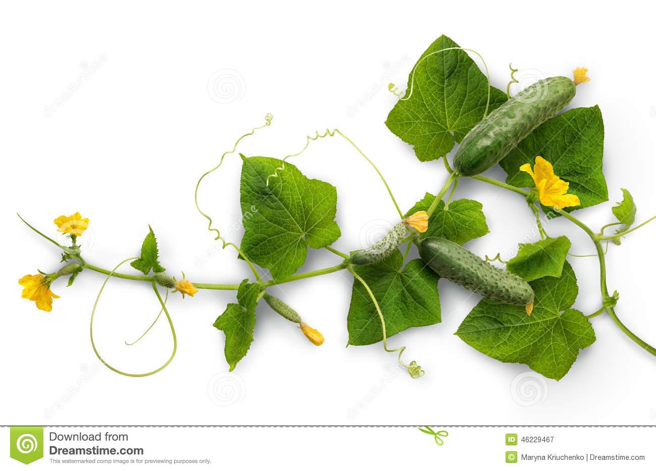 Cucumber Vine Stock Photo.