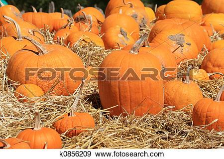 Stock Photograph of Pumpkins (Cucurbita moschata) Drying k0856209.