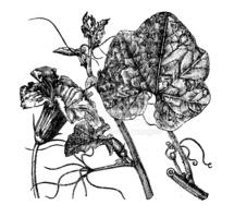 Antique Illustration of Cucurbita Maxima stock vectors.