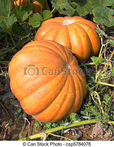 Pictures of pumpkins.