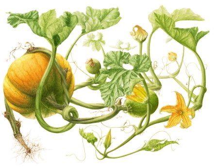 organic pumpkin seed oil (cucurbita pepo).