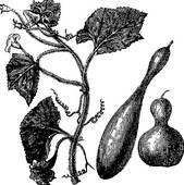 Cucurbitaceae Clip Art.
