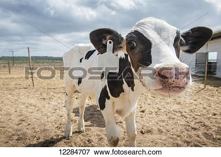 Picture of Cow on a dairy farm; Cullinan, Gauteng, South Africa.