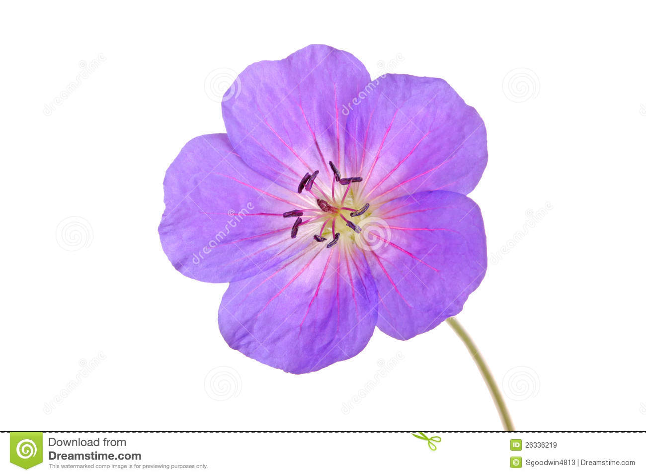 Single Flower Of A Geranium Cultivar Royalty Free Stock Images.