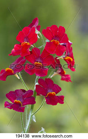 Pictures of Nemesia hybrid cultivar. Red flowers. Germany 194138.