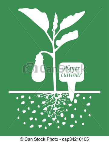 Vector Clipart of Eggplant plants with label cultivar on green.