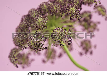 Picture of Close up of a red cultivar of the wild carrot x75775167.
