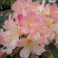 Rhododendron Azurro INKARHO Flowering Month: May.