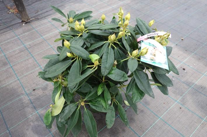 Rhododendron (yakushimanum) 'PERCY WISEMAN'.