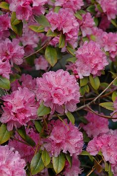 rhododendron tree pictures.