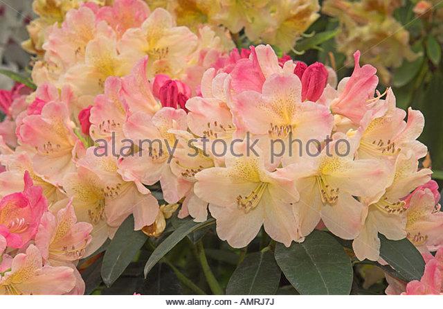 Pink Rhododendron Yakushimanum Blooming Stock Photos & Pink.