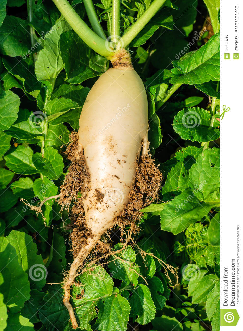 Radish Grown In The Ground Royalty Free Stock Image.